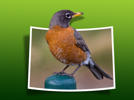 bounds: Out Of Bounds: American Robin