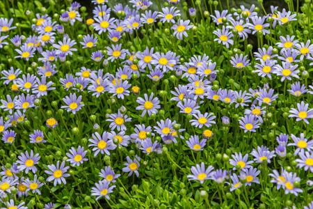 aster flowers: Beautiful aster flowers in an garden