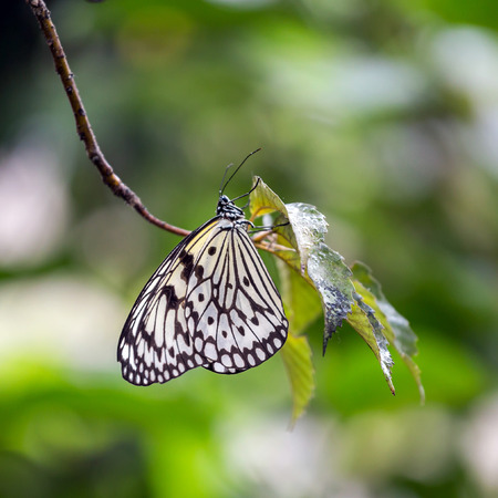 nymphs: Tree Nymphs Butterfly Stock Photo