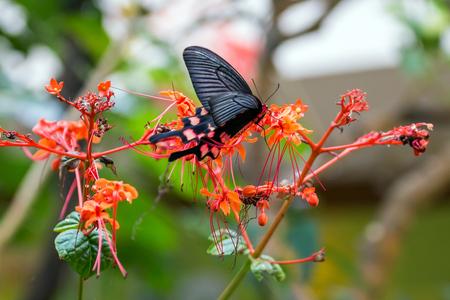 Pachliopta aristolochiae butterfly