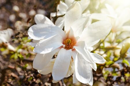 Close-up of Star magnolia blooming during spring . Vintage warm filter