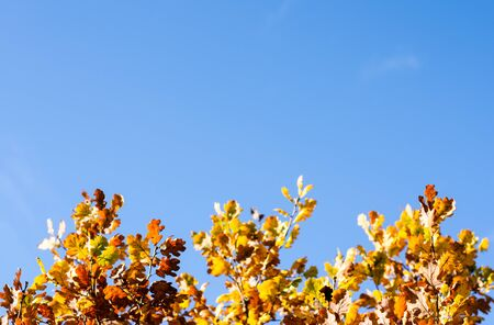 Autumn park background. Rusty trees leaves against blue sky .
