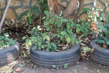 a worn car tyre is smartly used as a pot for plantation