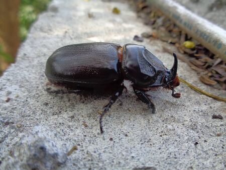 Asiatic rhinoceros beetle the exotic animal from asia (indonesia) Stock Photo