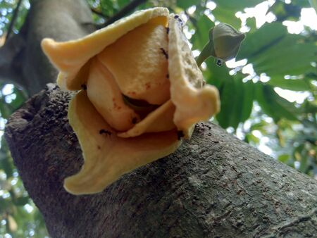 Soursop fruit flower, flower crown slightly open, flower still hanging on the tree