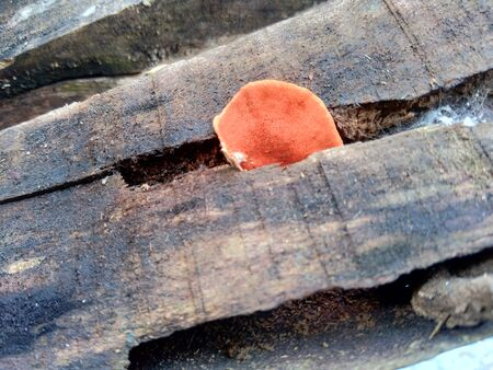 Ganoderma is a genus of polypore fungi in the family Ganodermataceae found in the trunk of tree, They are sometimes called shelf mushrooms or bracket fungi. 写真素材