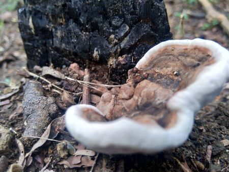 Ganoderma is a genus of polypore fungi in the family Ganodermataceae found in the trunk of tree, They are sometimes called shelf mushrooms or bracket fungi. sometime use for medicine