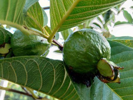Green Guava (Common guava Psidium guajava) on the tree