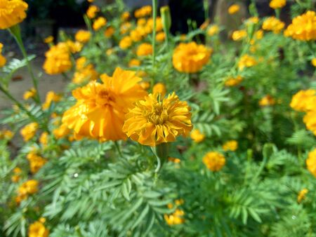 Tagetes erecta (Mexican marigold, Aztec marigold, African marigold) with natural background