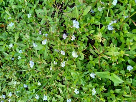Bacopa monnieri (commonly called water hyssop, brahmi, thyme leafed gratiola, herb of grace, Indian pennywort) plant with natural background Stock fotó
