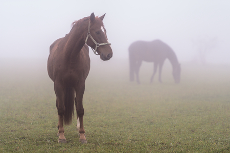 grassing: A couple of grassing horses, foggy weather, Germany