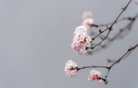 buch: Pink blossoms under snow in winter, Germany