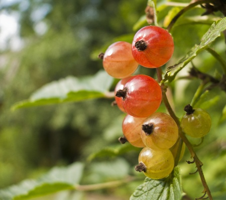 A branch of ripening currants with red and green berries photo