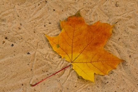 Orange fallen maple leaf lying on the sand   photo