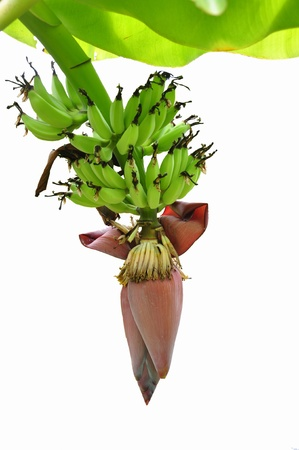 green banana with banana blossom on white background