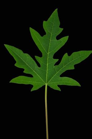 leaf isolated on black background