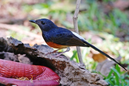 melodious: The White-rumped shama (aka Shama Thrush) is an Asian forest bird noted for its melodious songs. Stock Photo