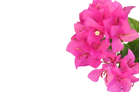 Vibrant bougainvillea branch, isolated on white