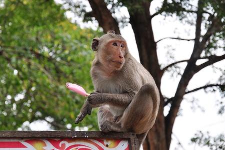 Young monkey eating ice cream Stock Photo
