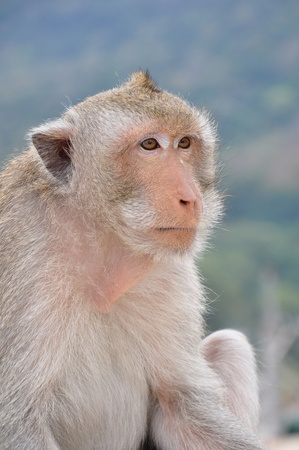 Close-up shot of the Monkey. Stock Photo - 11843247
