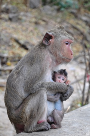 An infant monkey with it mother. Stock Photo - 11843245