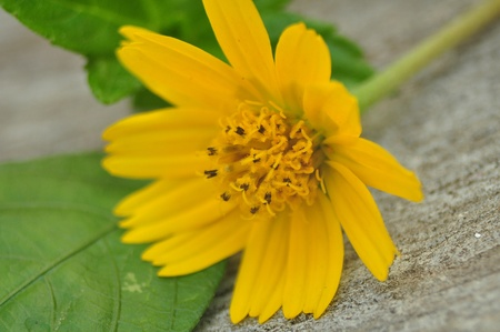 Yellow flower, Dailsy flower on the table cement. Stock Photo