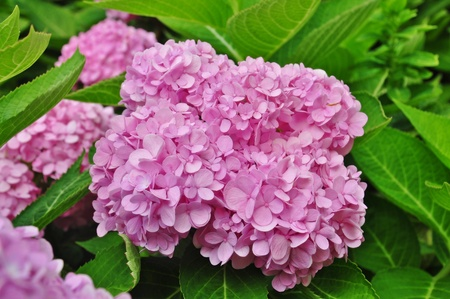 Large deep pink hydrangea blossoms - August summer flower   Stock Photo
