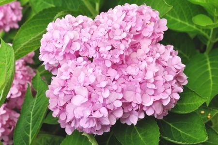 veiny: Hydrangea macrophylla hortensis flores