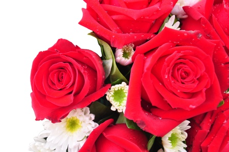 Beautiful red roses on a white background with space for copy