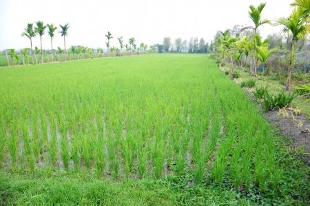 Natural Rice Farm Field ,Chiang Rai ,Thailand Stock Photo
