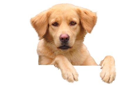 Dog  above white banner looking at camera  Stock Photo