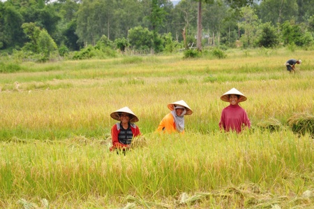 A photo of three rice farmers in a rice field with rice stalks as foreground in the picture at laos