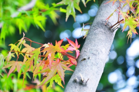 Korea maple in autumn colors Stock Photo - 14475512
