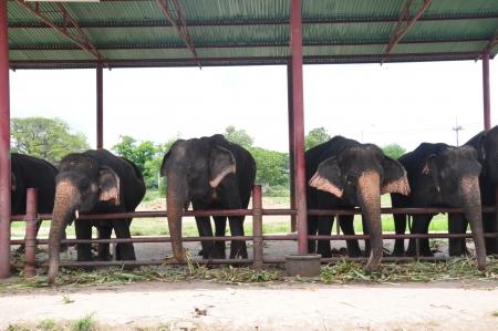 Relationship, Thai Elephant, Thailand Stock Photo - 16266805