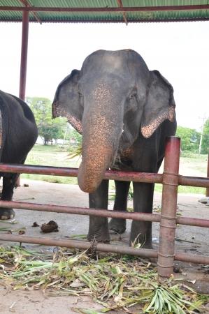 Relationship, Thai Elephant, Thailand Stock Photo - 16266806