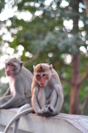 Close up portrait of a monkey at Lopburi ,Thailand Stock Photo - 17601228