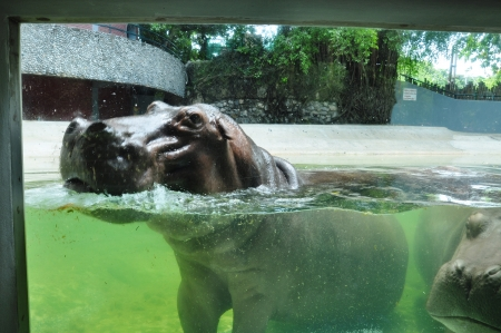 hippopotamus in the water at Dusit zoo in Thailand