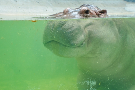 antagonistic: hippopotamus in the water at Dusit zoo in Thailand