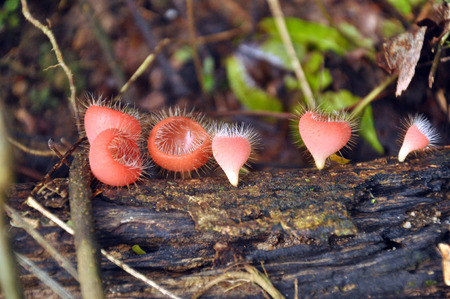 Red Mushroom Cup Fungi in the tropical rain forest