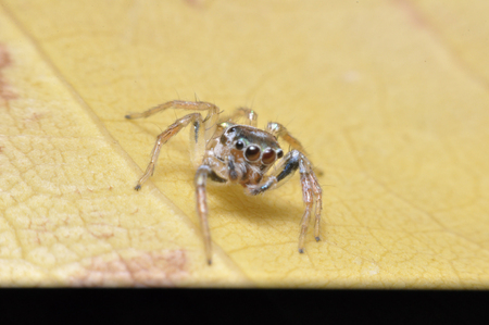 jumping spider closeup with a green background