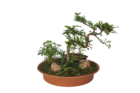 A small bonsai tree in a ceramic pot. Isolated on a white background. Stock Photo