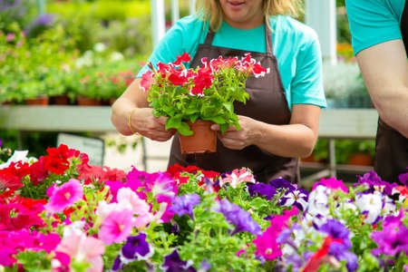 Unrecognizable female gardener holding pot with pretty flowers. Blonde woman in black apron caring and checking blooming plants in greenhouse with colleague. Gardening activity and summer concept