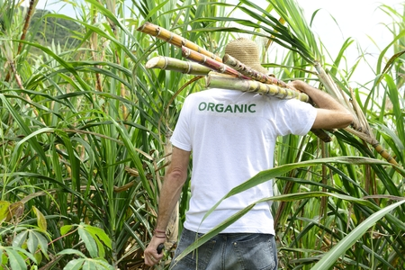 Organic farmer carrying sugar cane in front of plantation photo