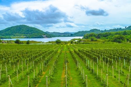 The Vineyard Vinery Pattaya