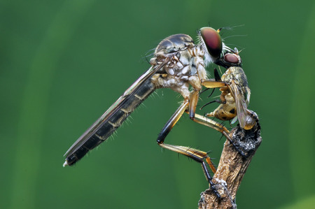 asilidae: Robber fly with wasp prey Stock Photo