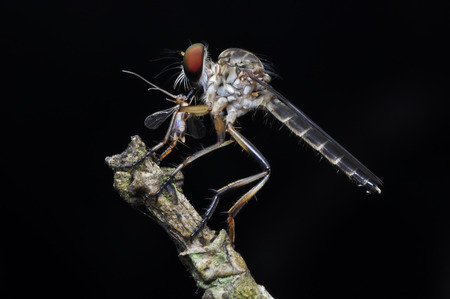asilidae: Macro shot of a robber fly with prey