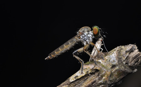 prey: Robber fly with prey