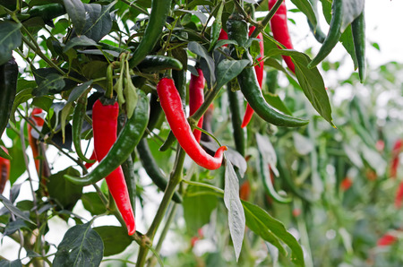 chilli: growing chili peppers. Close up Stock Photo