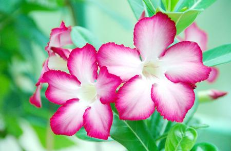obesum: Red Desert Flower, adenium obesum. Stock Photo