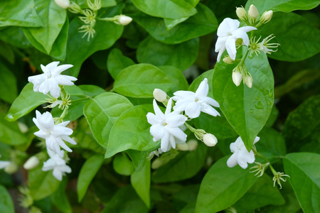 tree jasmine: Jasmine flowers with water drops blossoming on tree